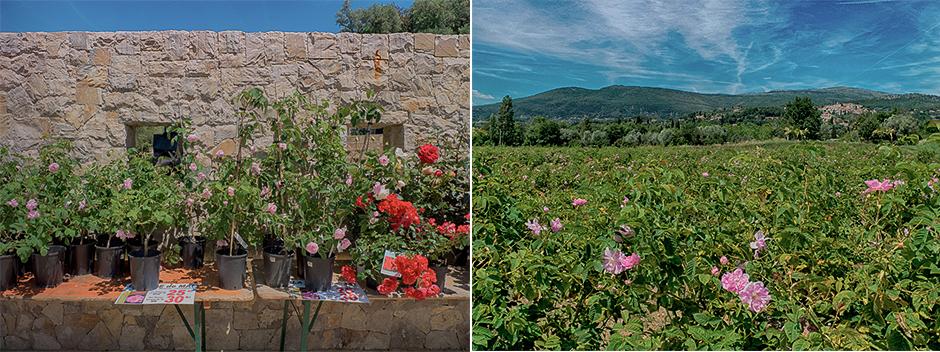 Le village d'Opio et la rose Centifolia