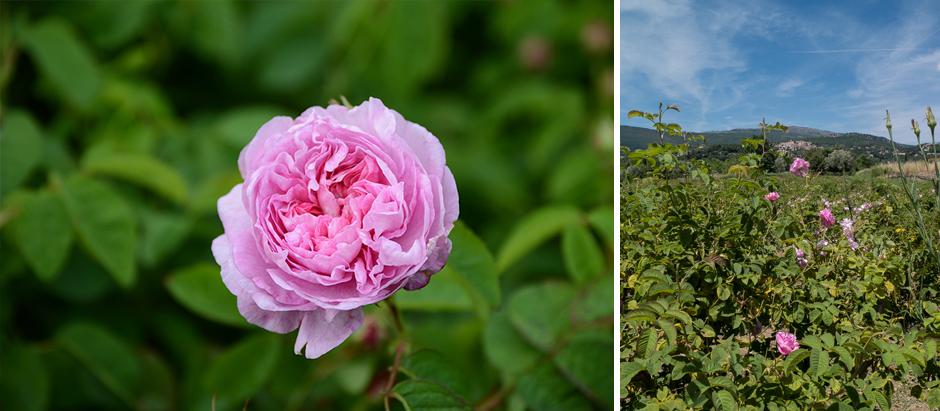 fête de la rose sur la Côte d'Azur