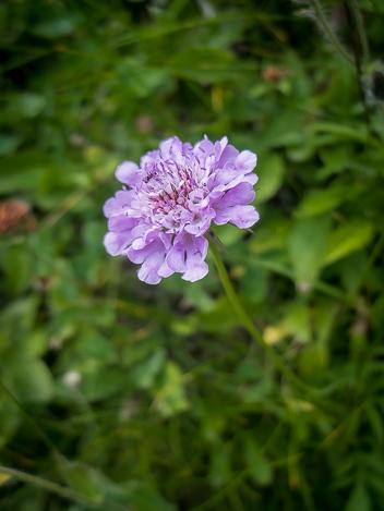 jolie fleur alpine Val Formazza